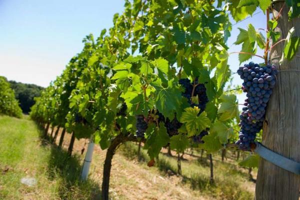 いま注目のワインは 爽やかな味のダラットワイン