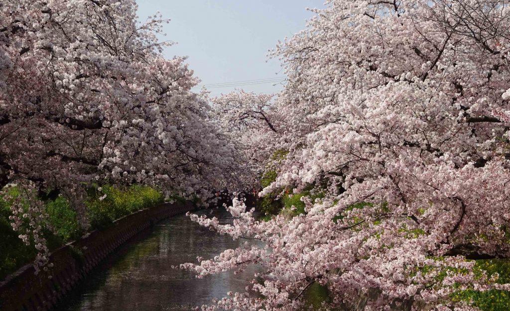 五条川の桜も一見の価値あり!